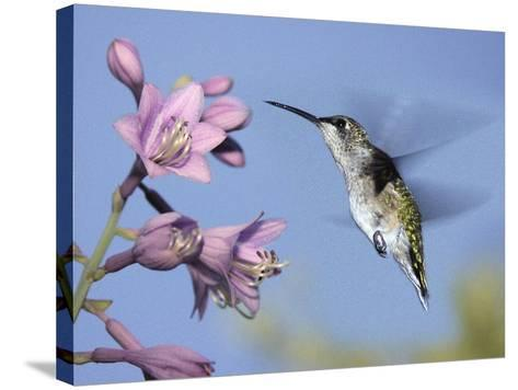 Hummingbirds in Indianapolis Backyard, Indiana, Usa-Anna Miller-Stretched Canvas Print