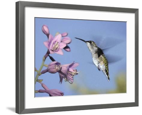 Hummingbirds in Indianapolis Backyard, Indiana, Usa-Anna Miller-Framed Art Print