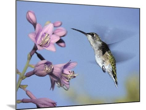 Hummingbirds in Indianapolis Backyard, Indiana, Usa-Anna Miller-Mounted Photographic Print