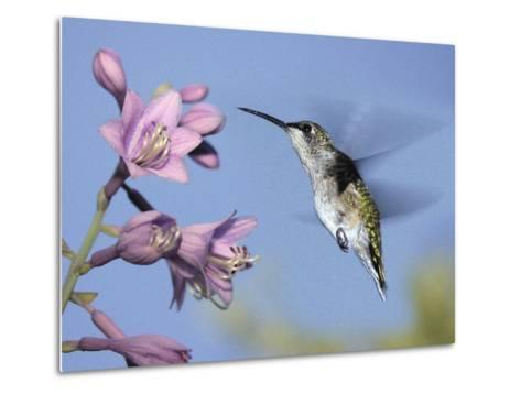 Hummingbirds in Indianapolis Backyard, Indiana, Usa-Anna Miller-Metal Print