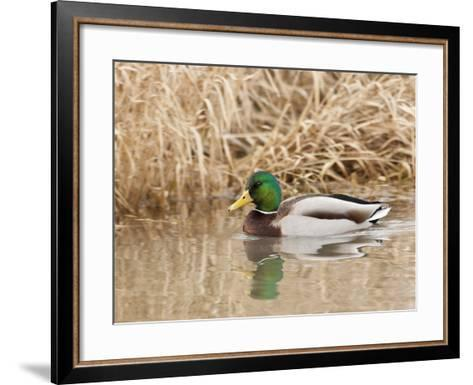 Mallard Drake (Anas Plathyrnhynchos), Basket Slough National Wildlife Refuge, Oregon, Usa-Rick A^ Brown-Framed Art Print