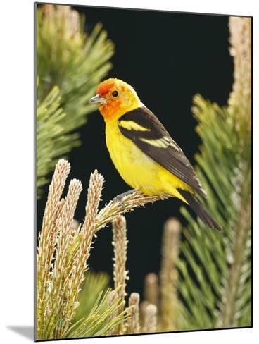 Western Tanager (Piranga Ludoviciana), Keizer, Oregon, Usa-Rick A^ Brown-Mounted Photographic Print