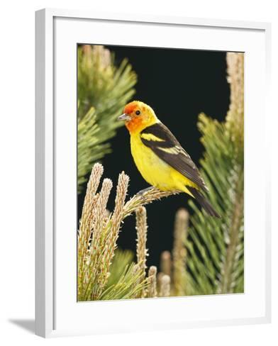 Western Tanager (Piranga Ludoviciana), Keizer, Oregon, Usa-Rick A^ Brown-Framed Art Print