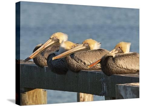 Brown Pelicans Loafing on Railing at Goose Island State Park, Goose Island State Park, Texas, Usa-Larry Ditto-Stretched Canvas Print