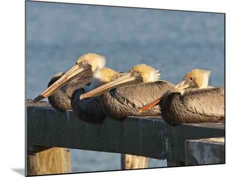Brown Pelicans Loafing on Railing at Goose Island State Park, Goose Island State Park, Texas, Usa-Larry Ditto-Mounted Photographic Print