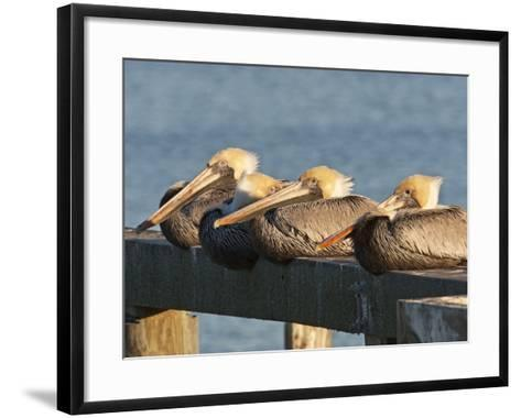 Brown Pelicans Loafing on Railing at Goose Island State Park, Goose Island State Park, Texas, Usa-Larry Ditto-Framed Art Print