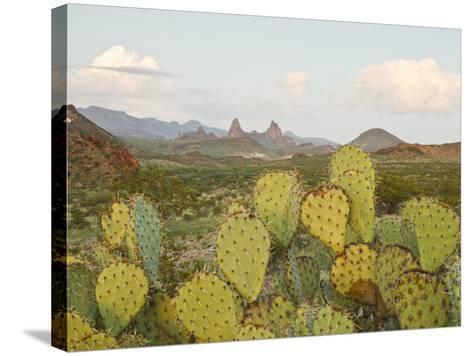 Mule Ears and Prickly Pear Cactus, Chisos Mountains, Big Bend National Park, Brewster Co., Texas, U-Larry Ditto-Stretched Canvas Print