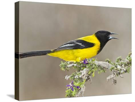 Audubon's Oriole (Icterus Graduacauda) Adult Perched, Starr Co., Texas, Usa-Larry Ditto-Stretched Canvas Print