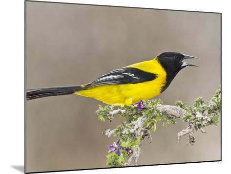 Audubon's Oriole (Icterus Graduacauda) Adult Perched, Starr Co., Texas, Usa-Larry Ditto-Mounted Photographic Print