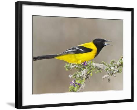 Audubon's Oriole (Icterus Graduacauda) Adult Perched, Starr Co., Texas, Usa-Larry Ditto-Framed Art Print