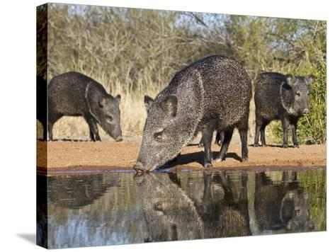 Herd Drinking at Ranch Pond, Pecari Tajacu, Collared Peccary, Starr Co., Texas, Usa-Larry Ditto-Stretched Canvas Print
