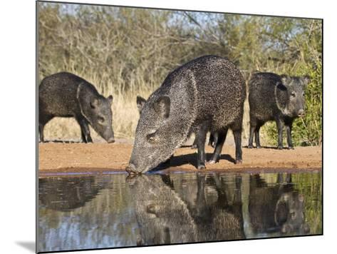 Herd Drinking at Ranch Pond, Pecari Tajacu, Collared Peccary, Starr Co., Texas, Usa-Larry Ditto-Mounted Photographic Print