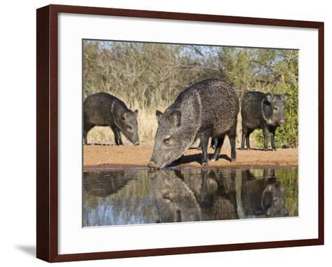 Herd Drinking at Ranch Pond, Pecari Tajacu, Collared Peccary, Starr Co., Texas, Usa-Larry Ditto-Framed Art Print