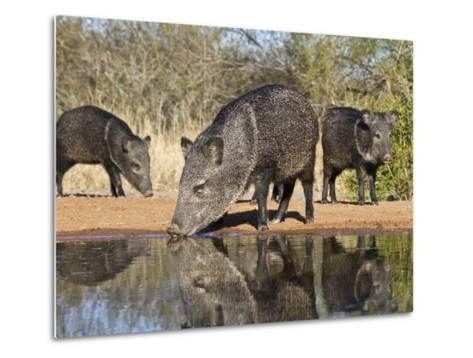 Herd Drinking at Ranch Pond, Pecari Tajacu, Collared Peccary, Starr Co., Texas, Usa-Larry Ditto-Metal Print