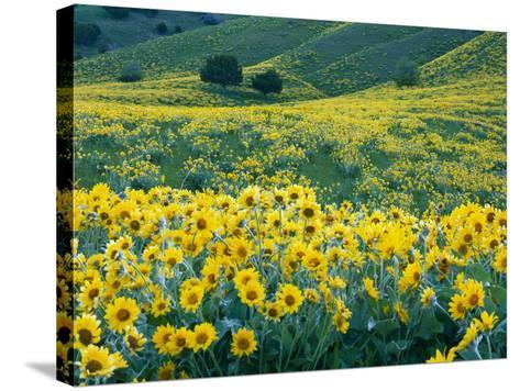 Arrowleaf Balsamroot in Bloom, Foothills of Bear River Range Above Cache Valley, Utah, Usa-Scott T^ Smith-Stretched Canvas Print