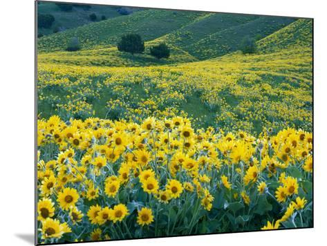 Arrowleaf Balsamroot in Bloom, Foothills of Bear River Range Above Cache Valley, Utah, Usa-Scott T^ Smith-Mounted Photographic Print