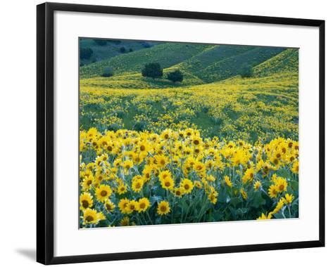 Arrowleaf Balsamroot in Bloom, Foothills of Bear River Range Above Cache Valley, Utah, Usa-Scott T^ Smith-Framed Art Print