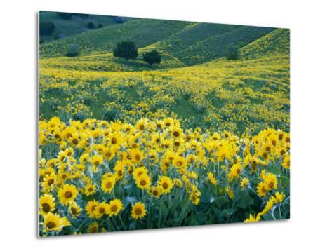 Arrowleaf Balsamroot in Bloom, Foothills of Bear River Range Above Cache Valley, Utah, Usa-Scott T^ Smith-Metal Print