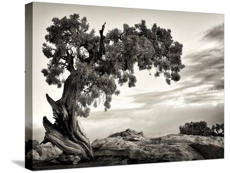 USA, Utah, Dead Horse State Park, Juniper Tree-Mark Sykes-Stretched Canvas Print