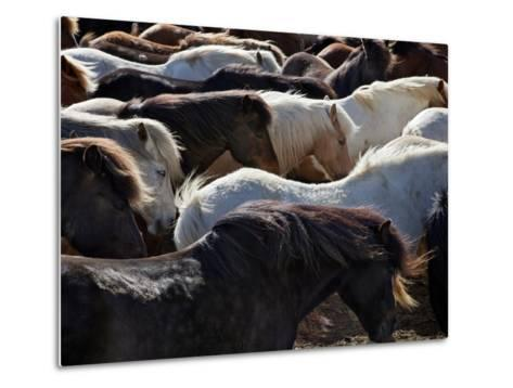 Icelandic Horses Sheltering in a Strong Wind-Nigel Pavitt-Metal Print