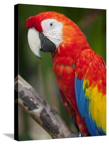 Bali, Ubud, a Greenwing Macaw Poses at Bali Bird Park-Niels Van Gijn-Stretched Canvas Print