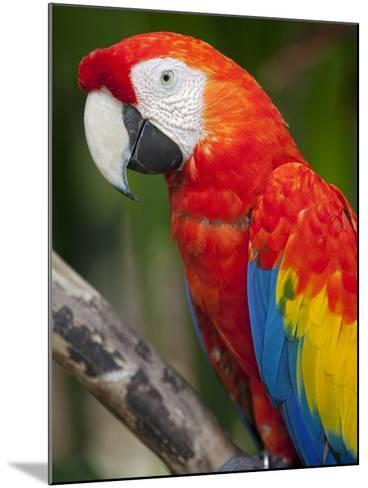 Bali, Ubud, a Greenwing Macaw Poses at Bali Bird Park-Niels Van Gijn-Mounted Photographic Print