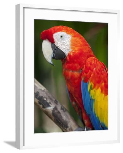 Bali, Ubud, a Greenwing Macaw Poses at Bali Bird Park-Niels Van Gijn-Framed Art Print