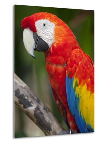 Bali, Ubud, a Greenwing Macaw Poses at Bali Bird Park-Niels Van Gijn-Metal Print