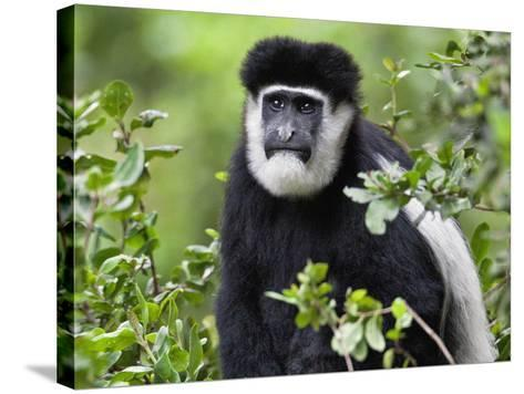 A Guereza Colobus Monkey in the Aberdare Mountains of Central Kenya-Nigel Pavitt-Stretched Canvas Print