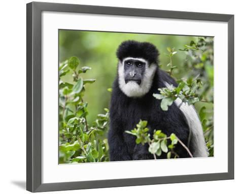 A Guereza Colobus Monkey in the Aberdare Mountains of Central Kenya-Nigel Pavitt-Framed Art Print
