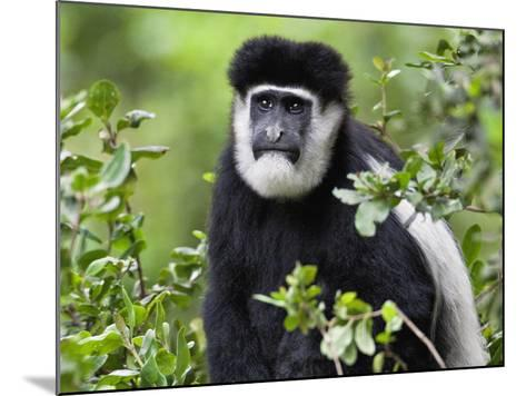 A Guereza Colobus Monkey in the Aberdare Mountains of Central Kenya-Nigel Pavitt-Mounted Photographic Print