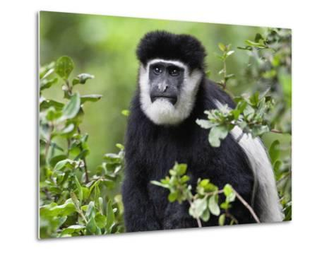 A Guereza Colobus Monkey in the Aberdare Mountains of Central Kenya-Nigel Pavitt-Metal Print