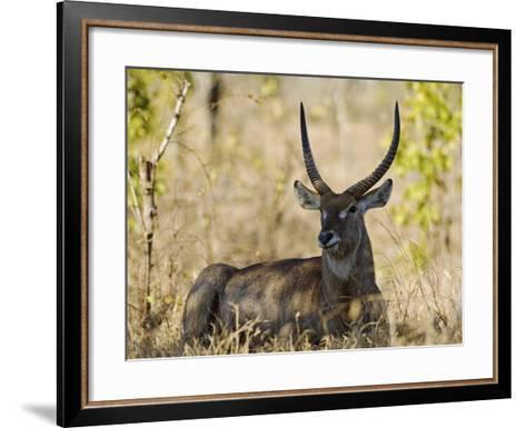 Malawi, Majete Wildlife Reserve, Male Waterbuck in the Brachystegia Woodland-John Warburton-lee-Framed Art Print