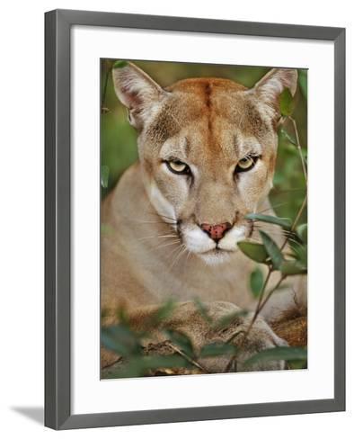 Cougar, Belize-Frans Lanting-Framed Art Print