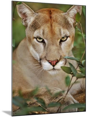 Cougar, Belize-Frans Lanting-Mounted Photographic Print