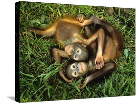 Orphaned Bornean Orangutans, Sepilok Reserve, Sabah, Borneo-Frans Lanting-Stretched Canvas Print