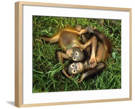 Orphaned Bornean Orangutans, Sepilok Reserve, Sabah, Borneo-Frans Lanting-Framed Art Print