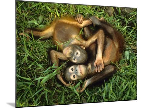 Orphaned Bornean Orangutans, Sepilok Reserve, Sabah, Borneo-Frans Lanting-Mounted Photographic Print