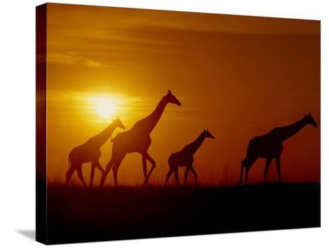 Giraffes at Sunset, Okavango Delta, Botswana-Frans Lanting-Stretched Canvas Print