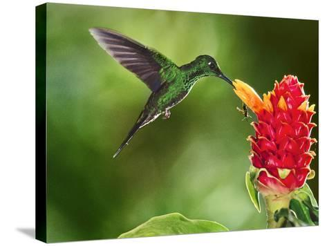 Green-Crowned Brilliant Hummingbird Feeding on Ginger Torch, Costa Rica-Frans Lanting-Stretched Canvas Print