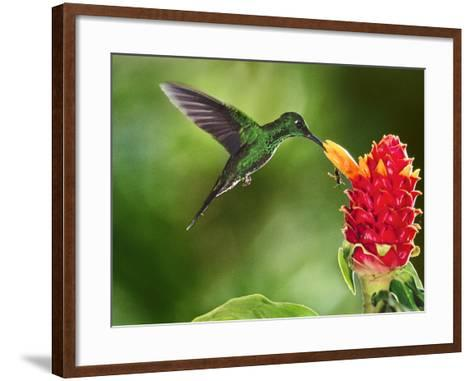 Green-Crowned Brilliant Hummingbird Feeding on Ginger Torch, Costa Rica-Frans Lanting-Framed Art Print
