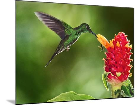 Green-Crowned Brilliant Hummingbird Feeding on Ginger Torch, Costa Rica-Frans Lanting-Mounted Photographic Print