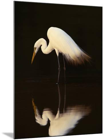 Great Egret in Lagoon, Pantanal, Brazil-Frans Lanting-Mounted Photographic Print