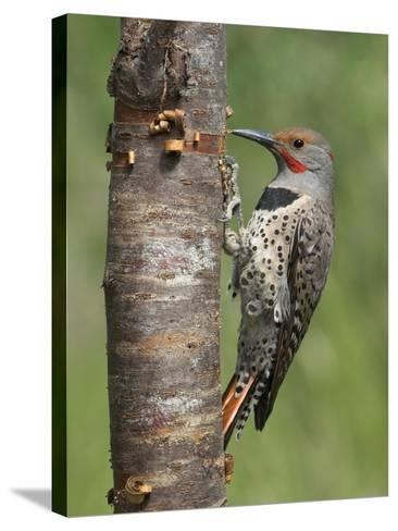 Northern Flicker (Colaptes Auratus) Perched on a Tree Trunk, Victoria, British Columbia, Canada-Glenn Bartley-Stretched Canvas Print