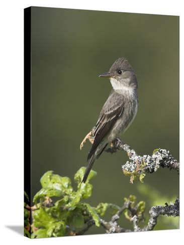 Olive-Sided Flycatcher (Contopus Cooperi) Perched on a Branch, Victoria, British Columbia, Canada-Glenn Bartley-Stretched Canvas Print