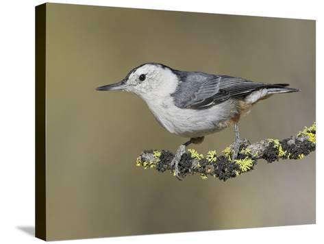 White-Breasted Nuthatch (Sitta Carolinensis) Perched on a Branch in Oregon, USA-Glenn Bartley-Stretched Canvas Print