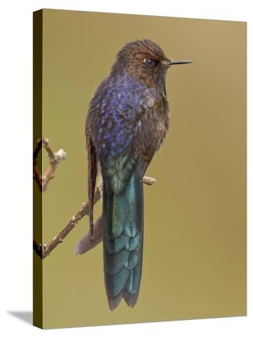 Blue-Mantled Thornbill (Chalcostigma Stanleyi) Perched on a Branch in Cajas National Park-Glenn Bartley-Stretched Canvas Print