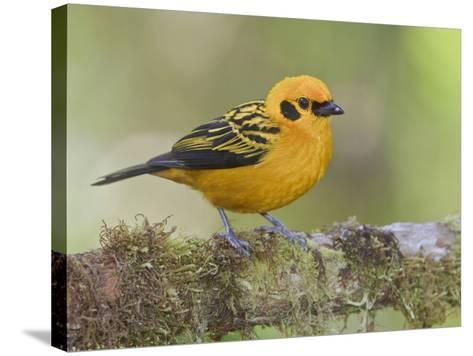Golden Tanager (Tangara Arthus) Perched on a Branch at the Mindo Loma Reserve, Ecuador-Glenn Bartley-Stretched Canvas Print