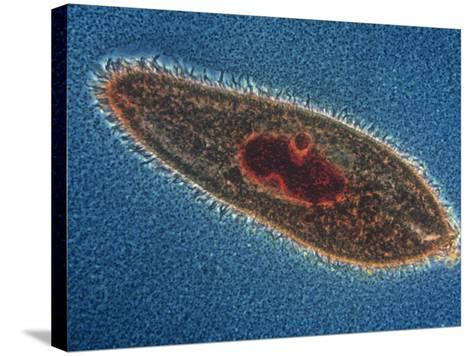 Paramecium Caudatum Ciliate Protozoa with a Stained Nucleus, LM X150-Michael Abbey-Stretched Canvas Print