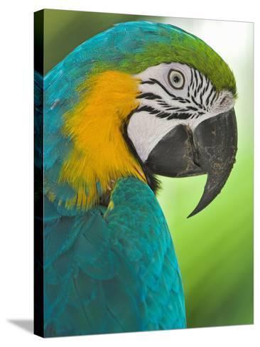 Blue Macaw, Costa Rica-Glenn Bartley-Stretched Canvas Print